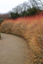 Cornus 'Midwinter Fire'