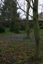 Scylla in flower in woodland