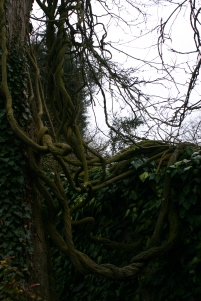 Ancient climber tangles it's way up a poplar