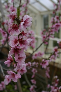 Cherry blossom in the Orchard House