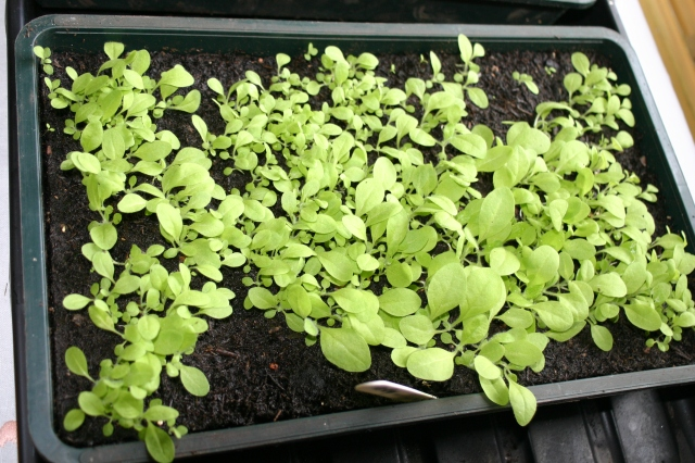 Lots of seedlings now ready for potting up- these are Nicotiana