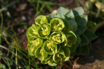 Euphorbia myrsinites struggling to put on flowers