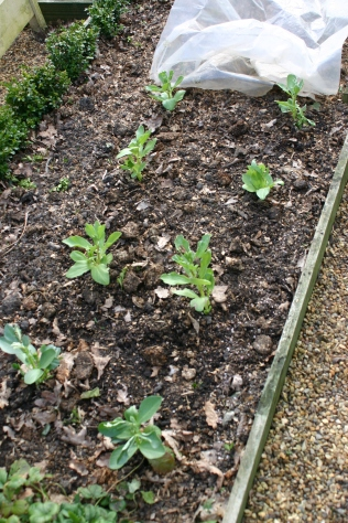 Broad Beans planted out after raising in the greenhouse