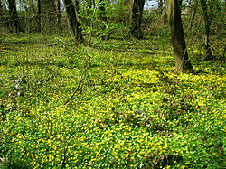 A woodland floor of Lesser Celandine