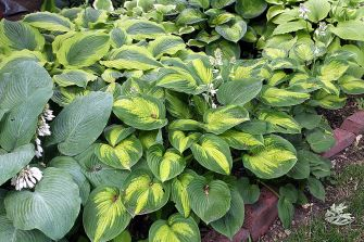 Mixed Hosta planting