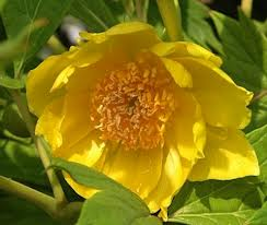 The Yellow Tree Peony (Paeonia lutea)