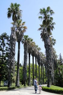 The impressive avenue of palms at the entrance