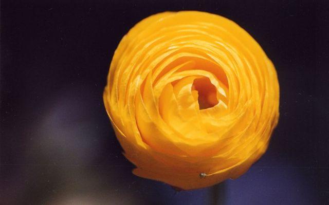 Ranunculus asiaticus - Persian Ranunculus