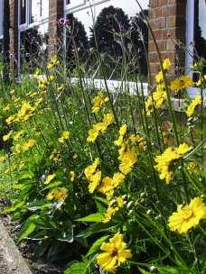'Nectar Bar'- Coreopsis