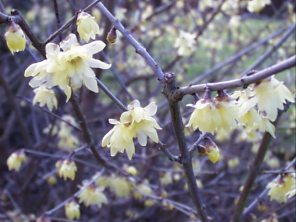 Chimonanthus praecox ('Winter Sweet')