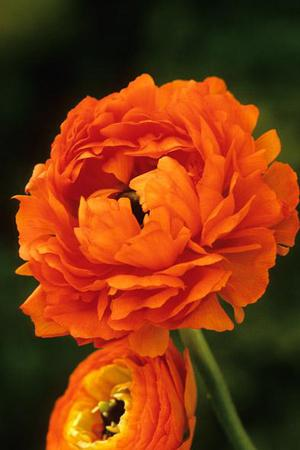 Ranunculus' Double Orange'