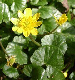 Ranunculus ficaria, Lesser Celandine
