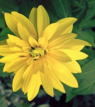 Rudbekia laciniata 'Goldkugel'-  in the RHS AGM list and considered to be fully hardy (H7)