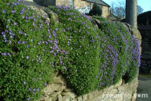 Cut back early flowering plants like Aubretia to encourage new growth