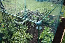Simple net cages can help to protect fruit and veg from birds and butterflies