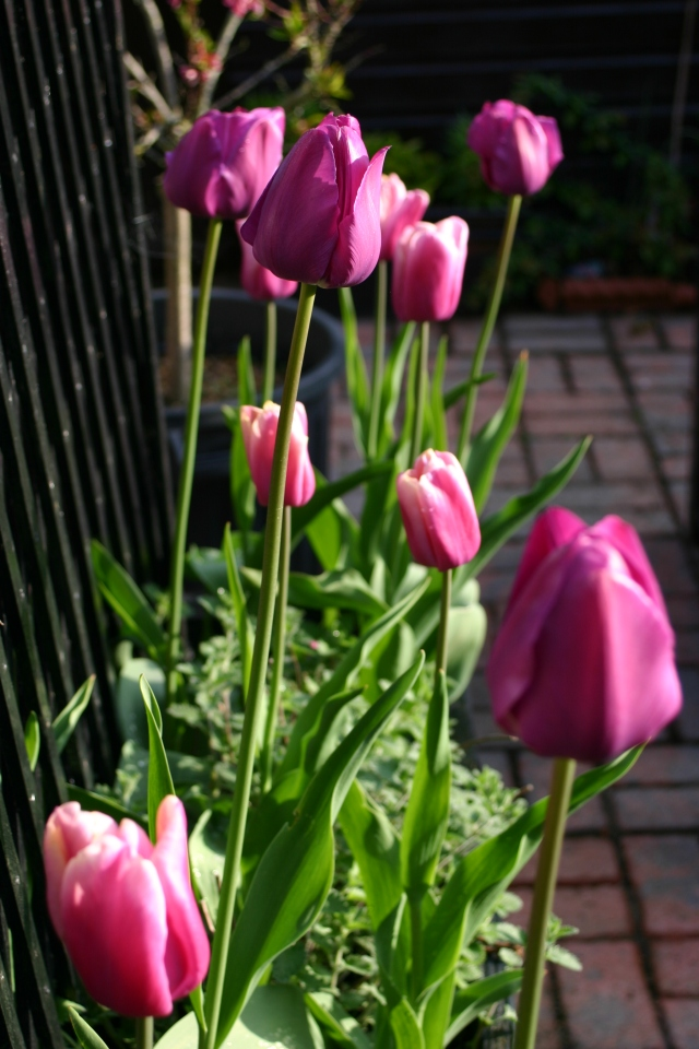 Tulips in planter May 2013