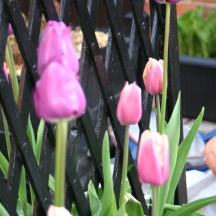 Two varieties of Tulip currently looking good