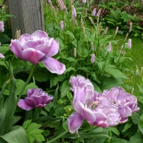 Combo 4: PInk Tulips and Persicaria