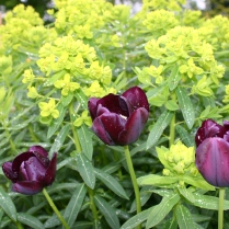 Combo 2: 'Queen of Night' tulips and Euphorbia palustris