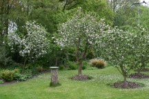 Apple blossom in the orchard- hopefully the bees will do their stuff and we'll have a good harvest