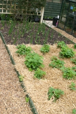 Strawberries with straw mulch and onions beyond