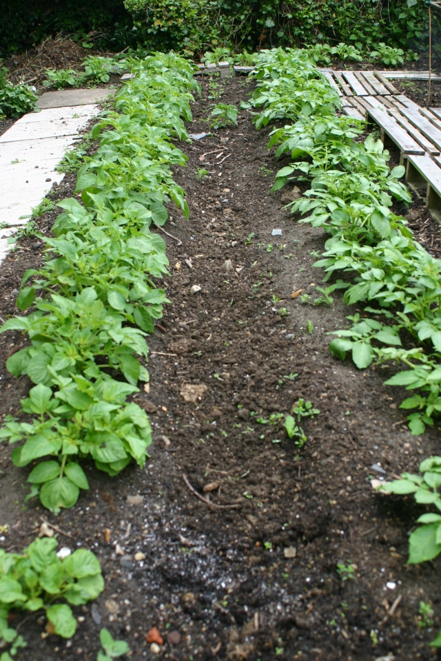 Early potatoes up and looking good