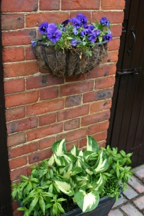Hosta container and recovered Pansies above