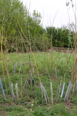Willow planting in a damp part of the site