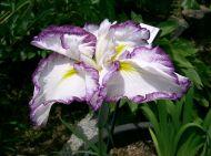 Iris ensata cv 'Kumoinogan'