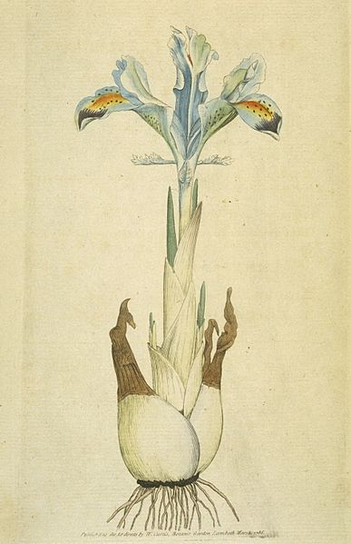 Iris persica - a bulbous Iris as drawn by Sowerby in 1792