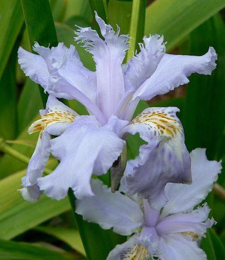 Iris wattii