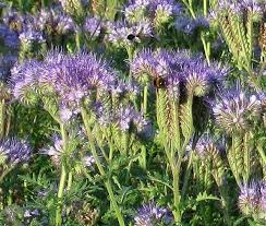 Phacelia is a 'green manure' and its flowers are a great source of food for bees