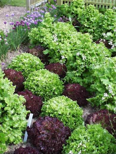 An attractive inter planting of different lettuce with chives along the edge of the bed