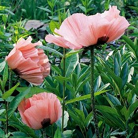 Oriental poppies can be sheared hard after flowering.