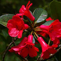 Plantax 11: Rhododendron - glorious 'Rose Tree'