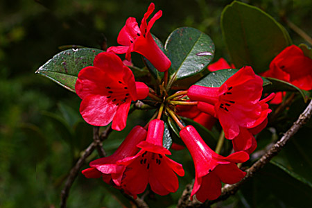 Rhododendron viriosum - picture by Brian Walters