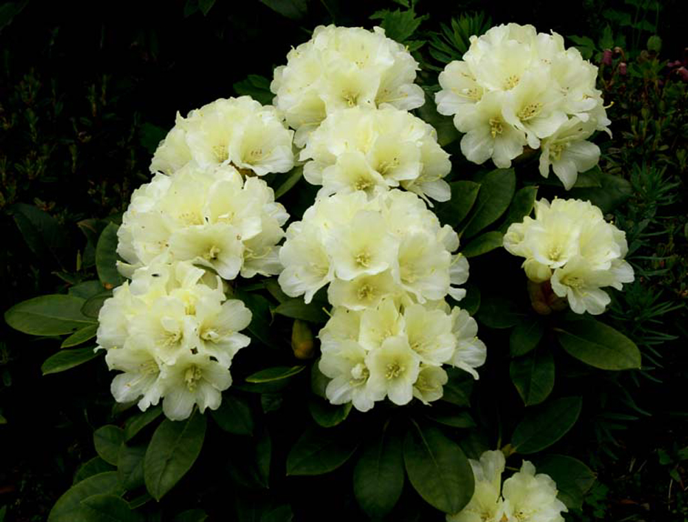 the features of the plant rhododendron Characteristics of rhododendron luteum sweet  r luteum is a  deciduous plant growing up to 3-4 m, in north and eastern anatolian mountains.