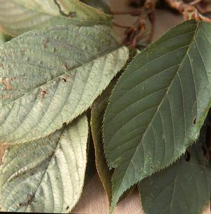 Silver Leaf- infected leaves (left) compared to healthy