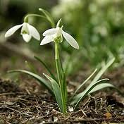 The first snowdrop flower an indicator of spring