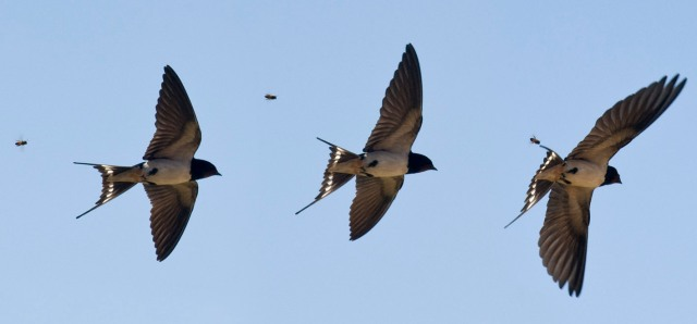 The first Swallow an indicator of spring