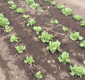 Keep newly planted veg well watered- an automatic seep hose system is great if you're going on holiday