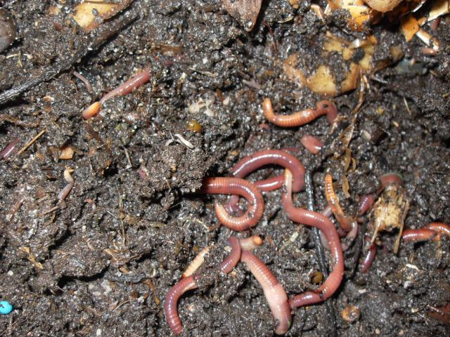 worms at work in compost-making