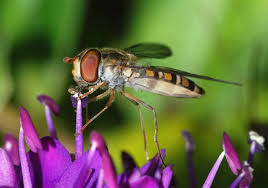 Encourage pest predators like hoverflies by attractive plantings and think about creating winter habitats now