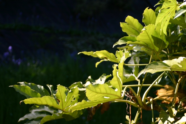 All about the leaves- Fatsia japonica