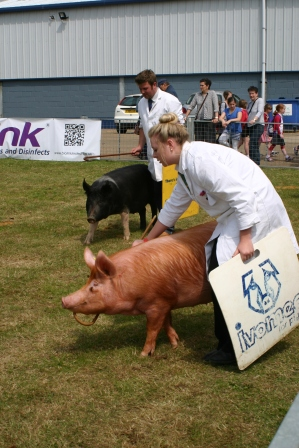 Pigs being 'persuaded' to walk round the ring