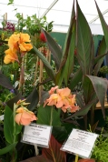 Exotics - Cannas