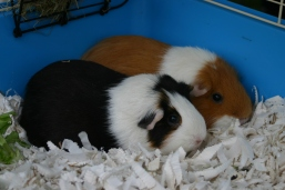 Guinea pigs looking rather 'sheepish'- part of the Norfolk Industries for Disabled people stand - this social enterprise makes animal bedding.