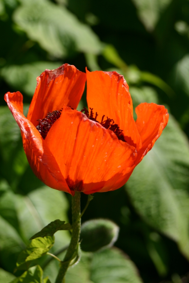 Early flowerign perennila slike Oriental poppies can be cut back hard to encourage new foliage and some will also flower again