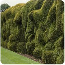 Not all hedges are meant to be level and straight- 'cloud pruned' forms such as this are more a work of art than a geometric challenge!