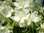 jasmine-bush